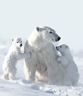Polar bear mama and cubs