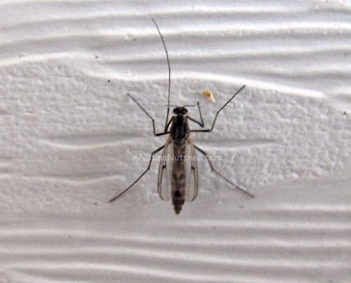 winter mosquito