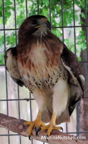 Neuseway nature center hawk