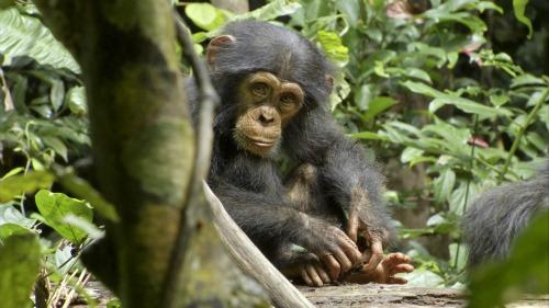 Oscar-chimpanzee