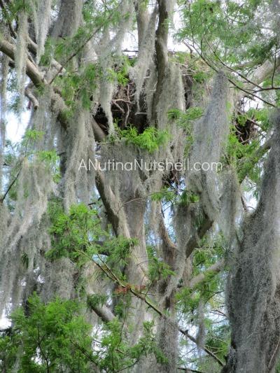 Makinson-Island-eagle-nest