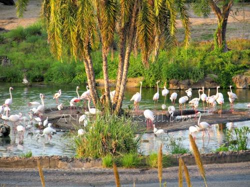 WildAfricaTrek-flamingos