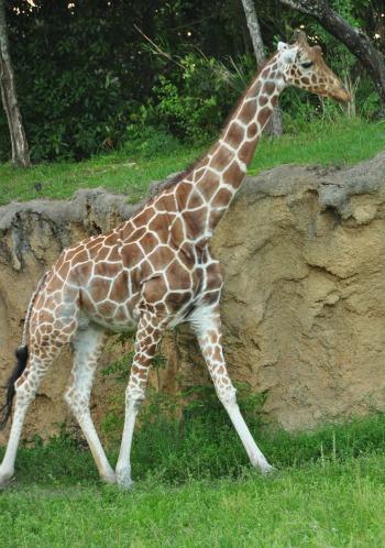 WildAfricaTrek-giraffe