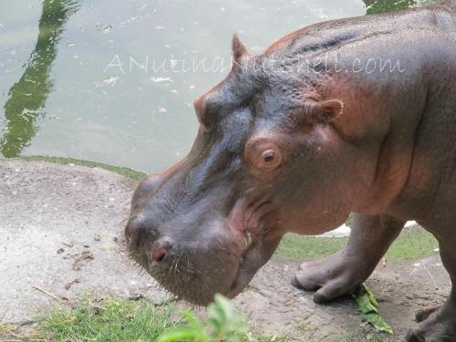 WildAfricaTrek-hippo