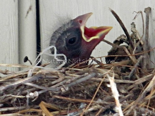 baby-bird-in-nest