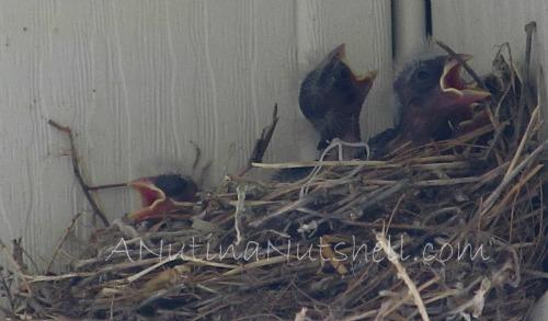 baby-birds-open-beaks