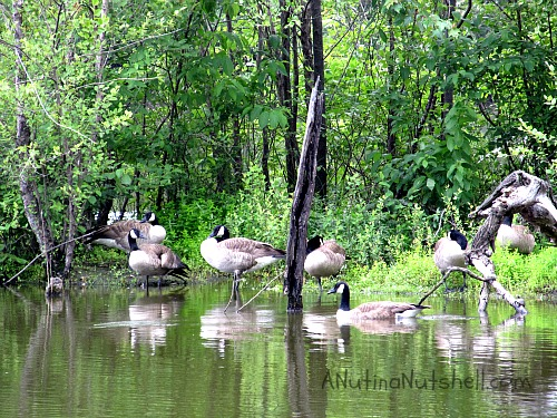 geese-River-Park-North-Greenville-NC
