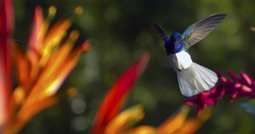 Male white-necked Jacobin near Heliconia blooms