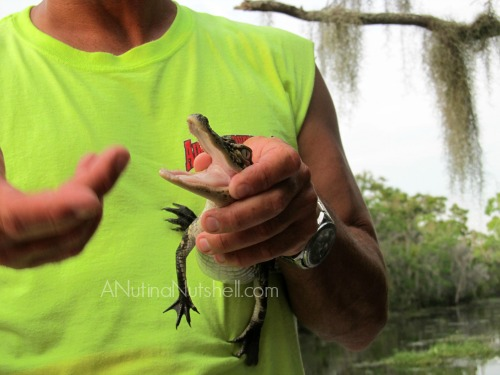Airboat Adventures - baby alligator