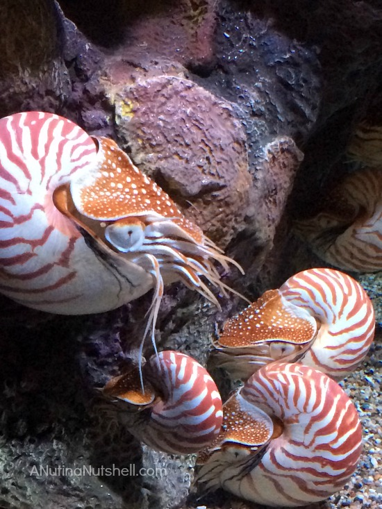 Chambered Nautilus-Monterey Bay Aquarium