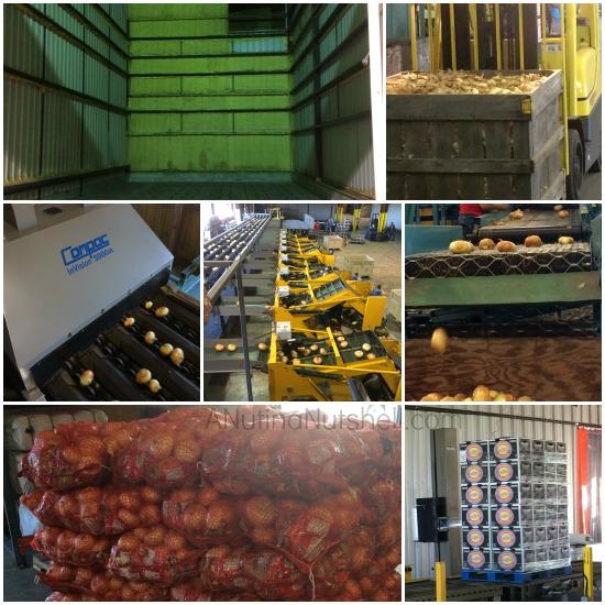 McClain Farms - sorting-grading-packing Vidalia onions