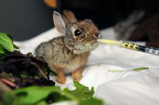 Baby Cottontail - Copyright Best Friends Animal Sanctuary