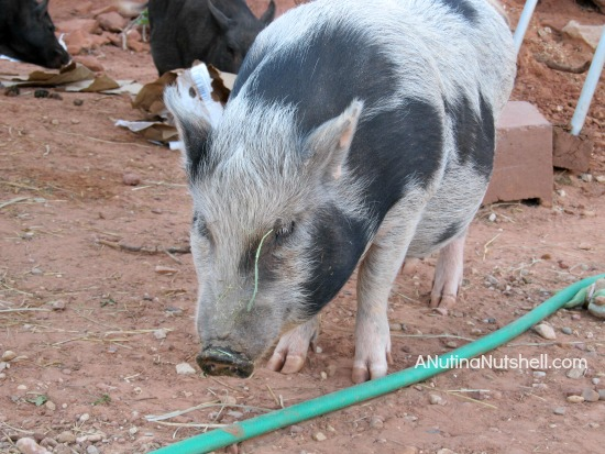 Best Friends Animal Sanctuary - pot bellied pig