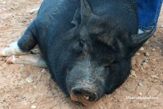 Best Friends Animal Sanctuary potbellied pig 2