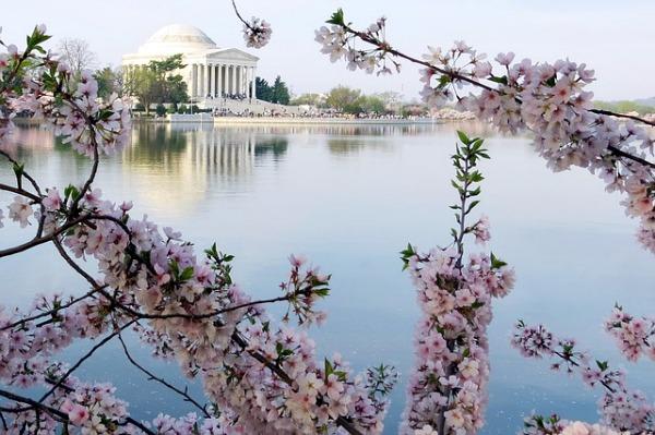 Jefferson Memorial - cherry blossoms - Washington DC